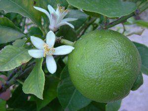 1280px-Lime_Blossom